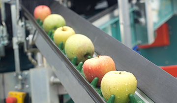 Line of apples moving in a factory